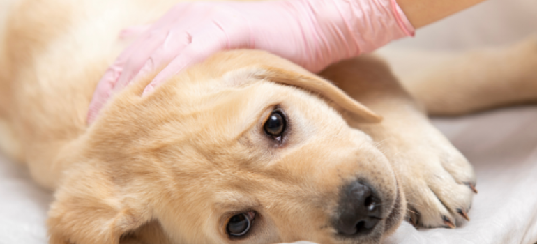 Why do we vaccinate our pets
